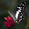 Jigsaw: Black And White Butterfly