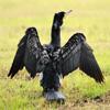 Jigsaw: Cormorant