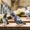 Jigsaw: Pigeons