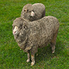 Jigsaw: Two Sheep